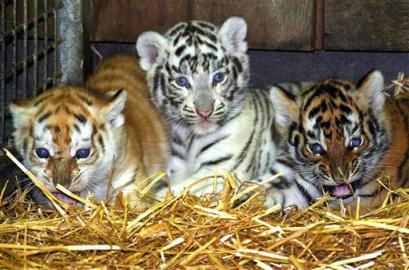 capt.fra10609061335.germany_tiger_cubs_fra106